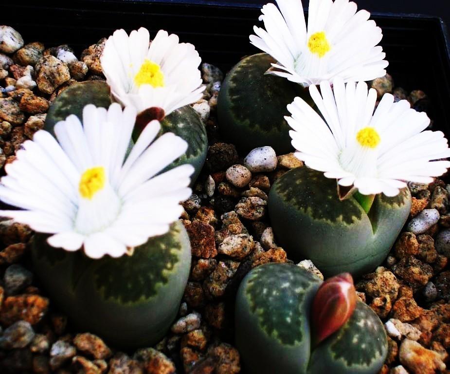 Литопсы (живые камни): выращивание из семян в домашних условиях